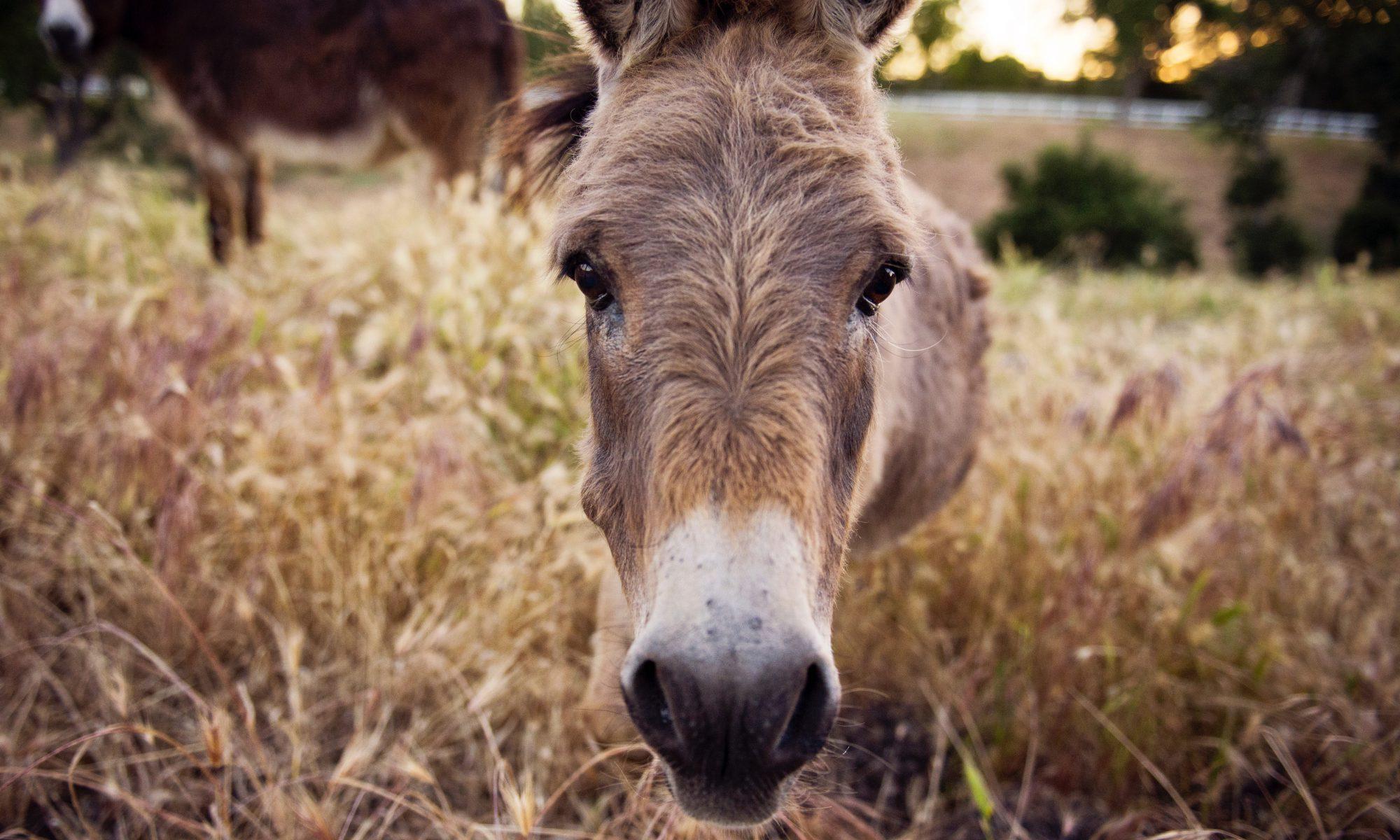 tisno croatia donkey